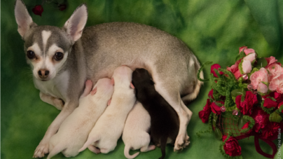 Chihuahua Puppies – One Week